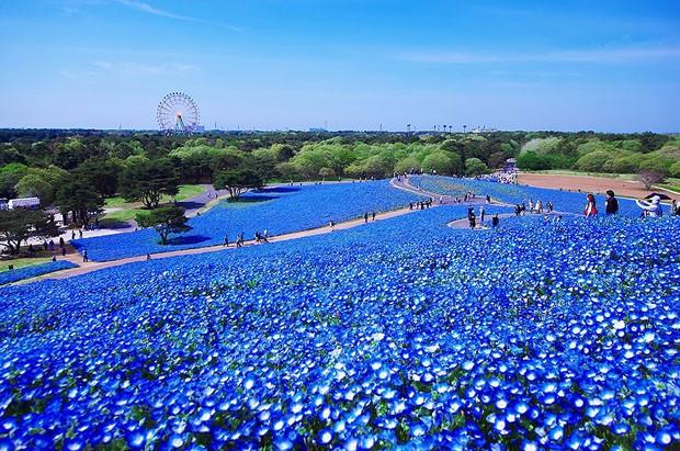 Milhares de flores azuis encantam visitantes em parque japonês